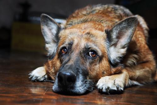 Senior Dog Westerville Ohio